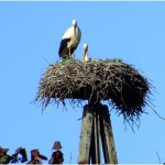 Bocianie gniazdo w centrum Brojc